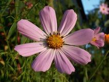 Cosmos bipinnatus del fiore (cosmos bipinnatus) Immagine Stock