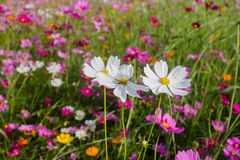 Cosmos bipinnatus feel refreshed, relaxed When it comes to natural touch. Cosmos bipinnatus colorful cosmos blooming in a field in the background Stock Photography