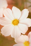 Cosmos bipinnatus flower Stock Photo