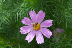 Cosmos bipinnatus flower and bee gathering Stock Images
