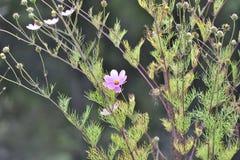 Cosmos bipinnatus flower Royalty Free Stock Photos