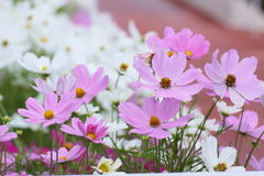 Cosmos bipinnatus Flower in Garden. Cosmos bipinnatus, compositae Flower in Garden, they are pink. people feel fresh. as it is beautiful Royalty Free Stock Photography