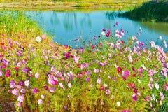 The cosmos bipinnatus and lake Stock Photo