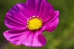 Cosmos bipinnatus Stock Image