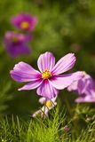 Cosmos bipinnatus Royalty Free Stock Images