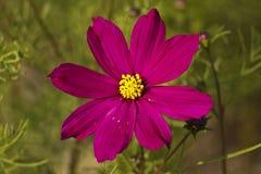 Cosmos bipinnatus Stock Photo