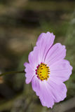 Cosmos Bipinnatus - Mexican Aster Stock Images