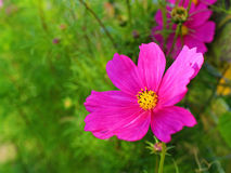 Cosmea flower pink bloom at fall in garden. Close-up of the garden flower Cosmos bipinnatus in its rich pink bloom at fall Stock Image