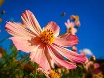Cosmos bipinnatus rosa del fiore del giardino Immagini Stock Libere da Diritti