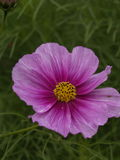 Cosmos bipinnatus Sensation Daydream 01. Cosmos bipinnatus Sensation Daydream Close-up Royalty Free Stock Image