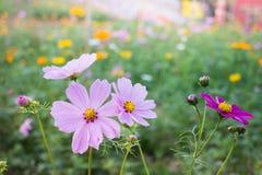 Cosmos bipinnatus spring flowers in field Royalty Free Stock Photo