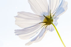 Cosmos bipinnatus white flower. S isolated and on white back round royalty free stock photography