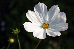 Cosmos, blanc photographie stock libre de droits