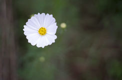 Cosmos blanc 2 Images stock