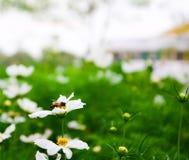 Cosmos blanco, flor hermosa y abeja minúscula Imagen de archivo