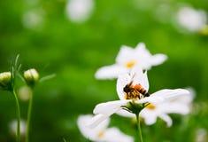 Cosmos blanco, flor hermosa y abeja minúscula Fotografía de archivo