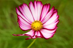 Cosmos Bloom Stock Image