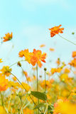 Cosmos blooming Stock Photography