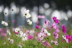 Cosmos. Blossom in the garden stock photos