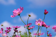 COSMOS with blue sky. COSMOS with autumn blue sky Royalty Free Stock Images