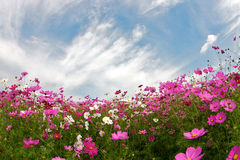 COSMOS with blue sky Stock Images