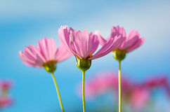 Cosmos with blue sky Royalty Free Stock Photos