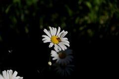 Cosmos branco no jardim Foto de Stock
