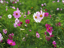 Cosmos Cav brightly colorful flowers bloom with water drops Royalty Free Stock Photo