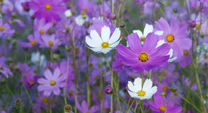 Cosmos close-up Royalty Free Stock Photography