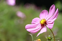 Cosmos. Close up Stock Photo