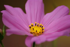 Cosmos. Close up of a cosmos flower in bloom Royalty Free Stock Images