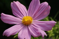 Cosmos. Close up of a cosmos flower in bloom Stock Photography