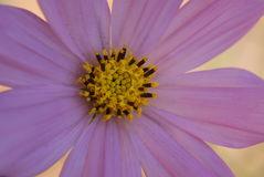 Cosmos. Close up of a cosmos flower in bloom Stock Photos