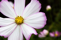 Cosmos Closeup with blurred bokah background Stock Photography