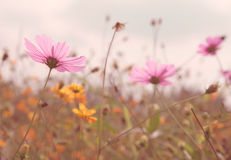 Cosmos colorful flower in the field Royalty Free Stock Images