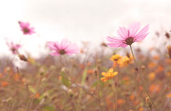 Cosmos colorful flower in the field Royalty Free Stock Photo