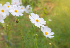 Cosmos colorful flower in the field Royalty Free Stock Image