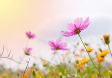 Cosmos colorful flower in the field Stock Photo