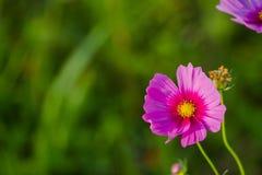 Cosmos colorido del bipinnatus del cosmos que florece en un campo en el fondo Fotos de archivo