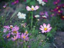 Cosmos colorido en el jardín Fotos de archivo libres de regalías