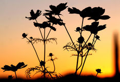 Cosmos command attention in a Arizona sunset. Hiking on a hillside I found a group of cosmos commanding attention in the fading sun Stock Photos