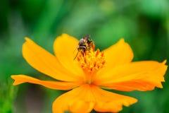 Cosmos con la abeja Imagen de archivo libre de regalías
