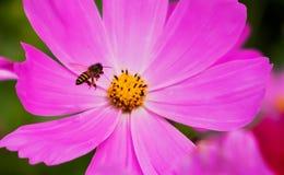 Cosmos con la abeja Imágenes de archivo libres de regalías
