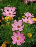 Cosmos cor-de-rosa Fotos de Stock