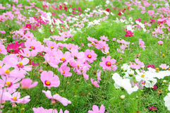 Cosmos cor-de-rosa Imagens de Stock Royalty Free