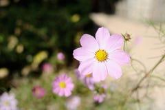 Cosmos cor-de-rosa Fotografia de Stock
