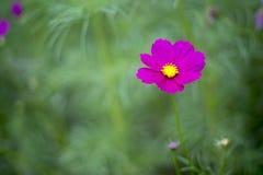 Cosmos cor-de-rosa 4 Foto de Stock Royalty Free