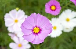 Cosmos cor-de-rosa 2 Fotografia de Stock Royalty Free