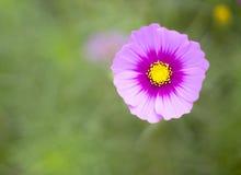 Cosmos cor-de-rosa 5 Imagens de Stock