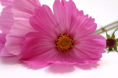 Cosmos cor-de-rosa Bipinnatus Fotos de Stock Royalty Free